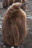 King Penguin Chick - Falkland Islands Royalty Free Stock Photos