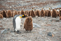 King penguin and chick in South Georgia, Antarctica. King penguin and chick, with the big colony of King penguin in background, South Georgia, Antarctica Stock Image