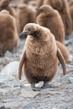 King penguin chick in South Georgia, Antarctica. A chick with the big colony of King penguin in background, South Georgia, Antarctica Stock Image