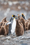 King penguin and chick in South Georgia, Antarctica. King penguin and chick, with the big colony of King penguin in background, South Georgia, Antarctica Stock Photography