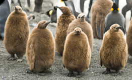 King Penguin Chicks - St. Andrews, South Georgia Stock Photo