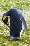 King penguin cleans feathers beak Royalty Free Stock Images