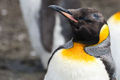 King penguin close-up Royalty Free Stock Photography