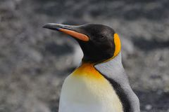 King penguins head close up stock photo