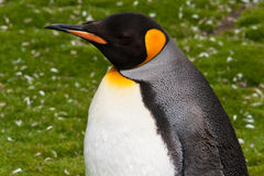 King penguin close-up Stock Image