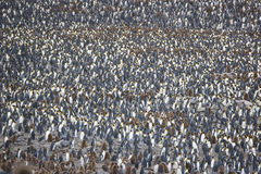King Penguin Colony Stock Images
