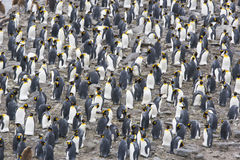 King Penguin Colony Stock Photos