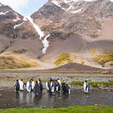 King Penguin Colony, Antarctica Royalty Free Stock Images
