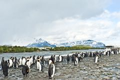King penguins in beautiful landscape with snow covered mountains, South Georgia Stock Photo
