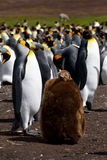 King Penguin colony with chick Stock Image