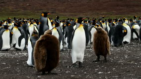 King Penguin colony with chicks stock video footage