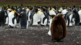 King Penguin colony with chicks stock video