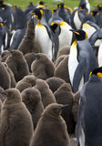 King Penguin Colony - Falkland Islands. King Penguin Colony on the Falkland Islands royalty free stock photography