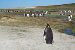 King Penguin Colony - Falkland Islands Stock Photography