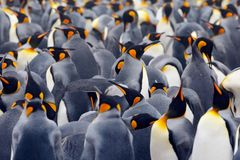 King penguin colony, many birds together, in Falkland Islands Stock Photos