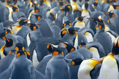 King penguin colony. Many birds together, in Falkland Islands. Wildlife scene from nature. Animal behaviour in Antarctica. Penguin. King penguin colony. Many royalty free stock images