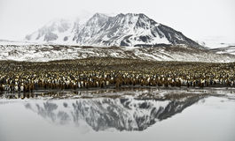 King Penguin Colony and Mountain Reflected. A huge King Penguin colony sandwiched between high mountains and the sea, all reflected in the calm waters in front royalty free stock image