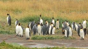 King penguin colony royalty free stock image