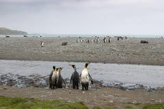 King penguin colony Salisbury plain. South Georgia royalty free stock photos