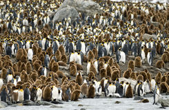 King Penguin Colony-St. Andrews Bay, South Georgia. A view from the shore of a crowded section of the St. Andrews Bay colony in South Georgia royalty free stock photos