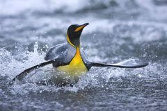 King penguin comes to shore on South Georgia Island. A king penguin returns to shore through the waves,  after a fishing expedition in the waters surrounding Royalty Free Stock Photography
