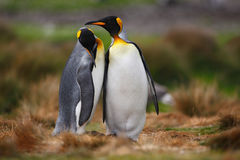 King penguin couple cuddling in wild nature with green background. King penguin couple cuddling in wild nature Stock Photo