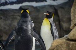 King Penguin Stock Image