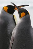 King Penguin Couple kiss, Falkland Islands. King Penguin couple stand close together with crossed beaks, Falkland Islands stock images