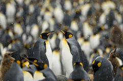 King Penguin Couple in the Masses. A pair of King Penguins in the middle of a colony - South Georgia Royalty Free Stock Image