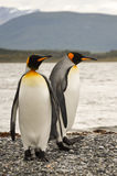 King penguin couple Royalty Free Stock Photo