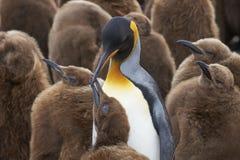 King Penguin creche in the Falkland Islands royalty free stock photos