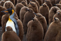Adult King Penguin Stands of from the Crowd in a Creche Royalty Free Stock Photos