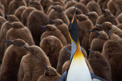 Adult King Penguin Stands Out from the Crowd in a Creche Stock Photo