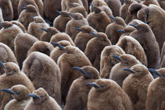 King Penguin Creche - Falkland Islands. Large group of King Penguin (Aptenodytes patagonicus) chicks standing together in a creche at Volunteer Point in the stock photo