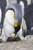 King Penguin with egg royalty free stock images