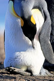 King penguin with an egg between the feet, aptenodytes patagonicus, Saunders, Falkland Islands