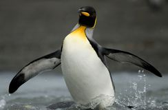 King Penguin Emerging from the Shallows Stock Image