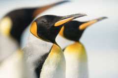 King Penguin Royalty Free Stock Photo