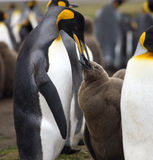 King Penguin feeding chick - Falkland Islands Stock Image