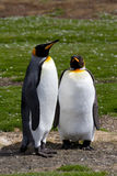 King Penguin friends Stock Photography