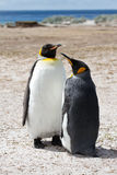 King Penguin friends Stock Images
