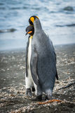 King penguin gently leaning body against another Stock Photography