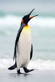 King penguin going from blue water, Atlantic ocean in Falkland Island. Sea bird in the nature habitat. Penguin in the water. Pengu Royalty Free Stock Photo