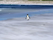 Free King Penguin Group, Aptenodytes Patagonica, On The White Sandy Beach Of Volunteer Point, Falklands / Malvinas Stock Photography - 93737582