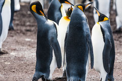King Penguin Group is raising his head Stock Image
