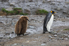 King penguin with grumpy chick, South georgia Stock Photography