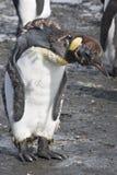 King penguin head bowed, Antarctica royalty free stock photo