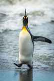 King penguin with head up at waterline Royalty Free Stock Image