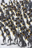 King penguin huddle Stock Photos