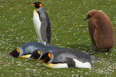King Penguin with Hungry Chick - Falkland Islands Royalty Free Stock Photos